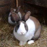 Výkup králičích kožek