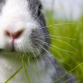 Kokcidióza králíků