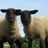 Plemena ovcí