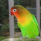 Papoušek agapornis chov