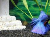 Ryba beta bojovnice – chov