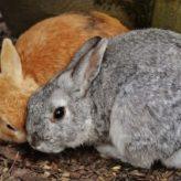 Březost králíků
