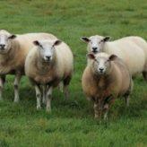 Březost ovcí