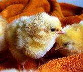 Výkrm brojlerových kuřat