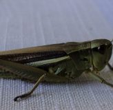 Chov cvrčků