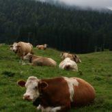 Chov krav