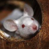 Chov myší
