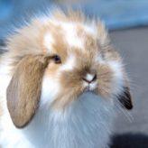 Myxomatóza králíků