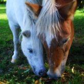 Odčervení koní