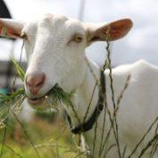 Odčervení koz
