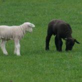 Odčervení ovcí