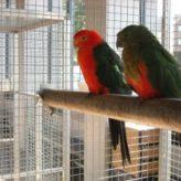 Papoušek královský – chov