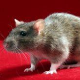 Chov potkanů